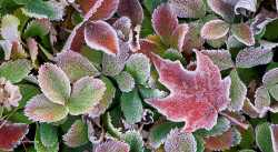 Hoarfrost-on-Strawberry-&-Maple-leaves