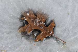 In a Frozen State-Oak-Leaf-_JMF7090